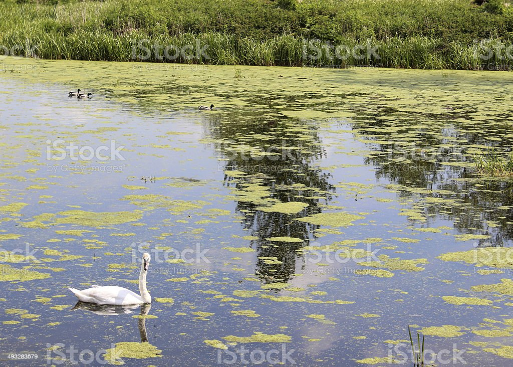 Lonely swan swimming in natural pond with plants and weed stock photo