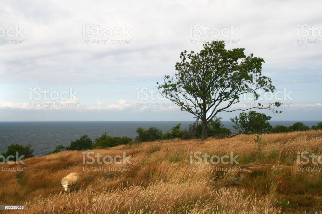 Lonely tree and a sheep royalty-free stock photo