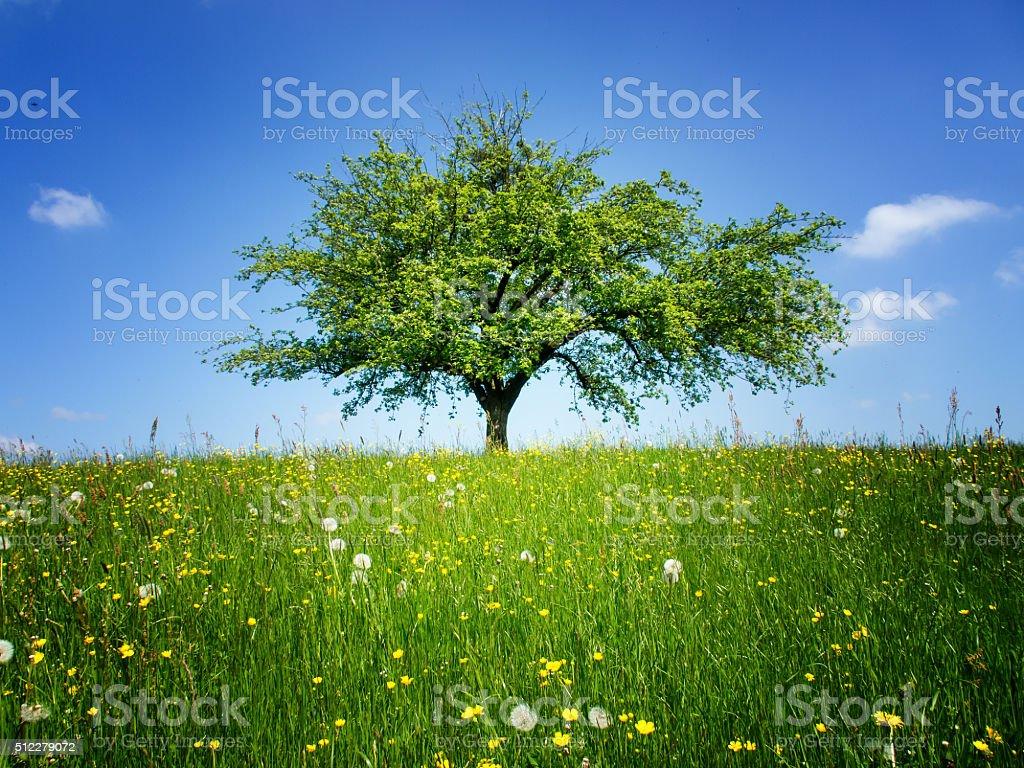 lonely tree,  apple tree stock photo