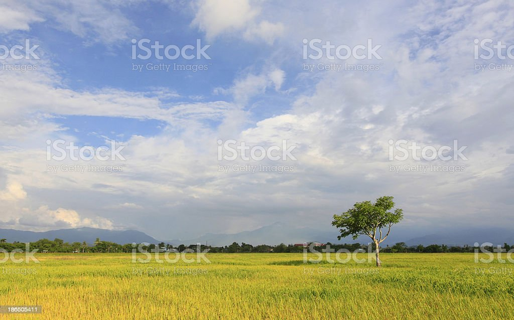 Lonely tree at paddy field with blue sky royalty-free stock photo