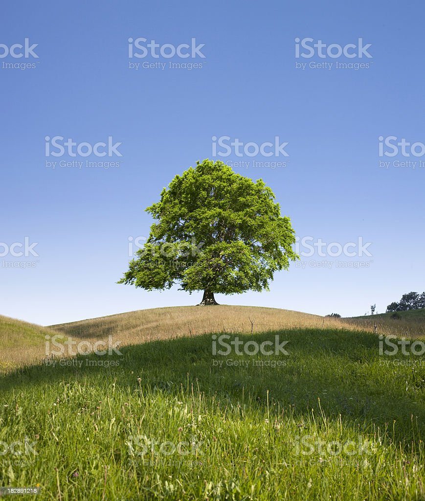 Lonely tree. Beech. royalty-free stock photo