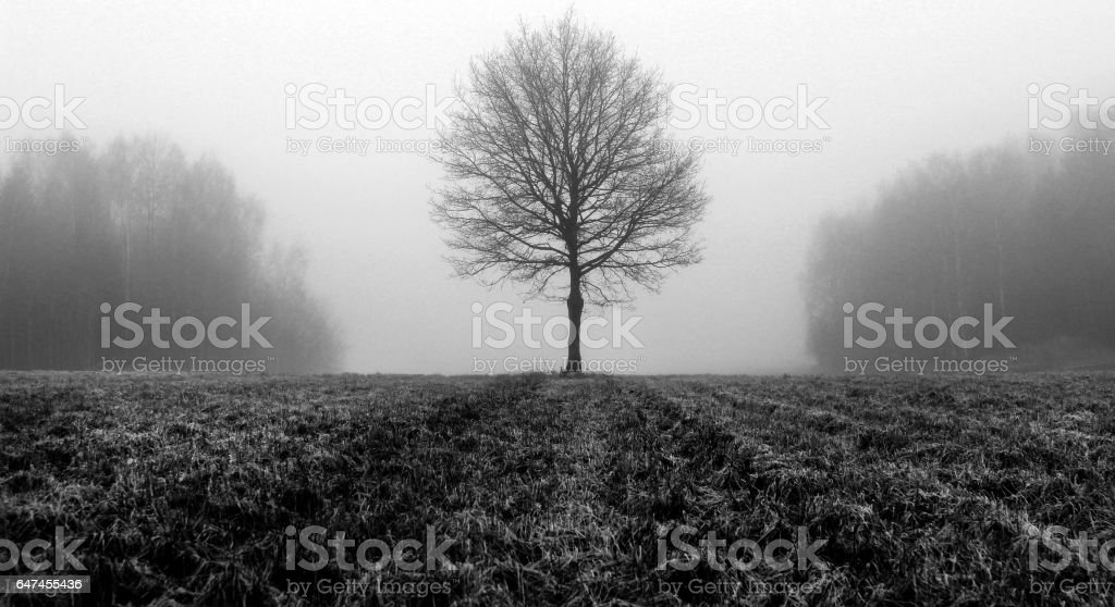 Lonely tree in fog. stock photo