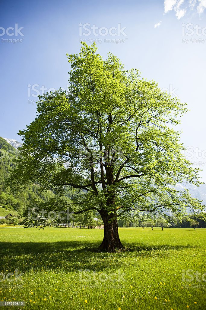 Lonely tree in idyllic Alps valley royalty-free stock photo