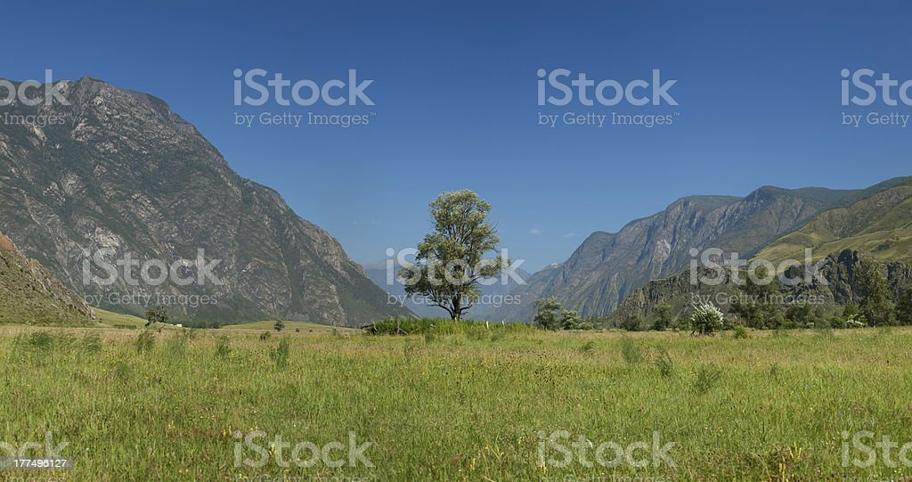 Lonely tree in mountains. Altai. Russia stock photo
