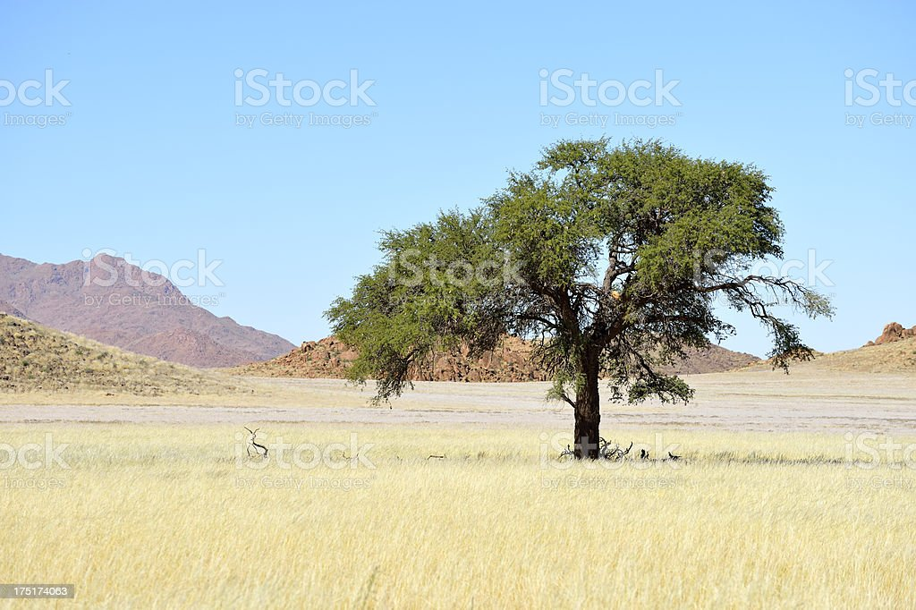 Lonely tree in the desert royalty-free stock photo