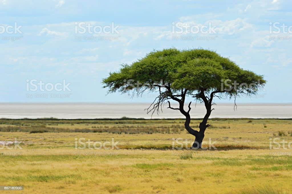 Lonely tree in the Etosha National Park in Namibia stock photo