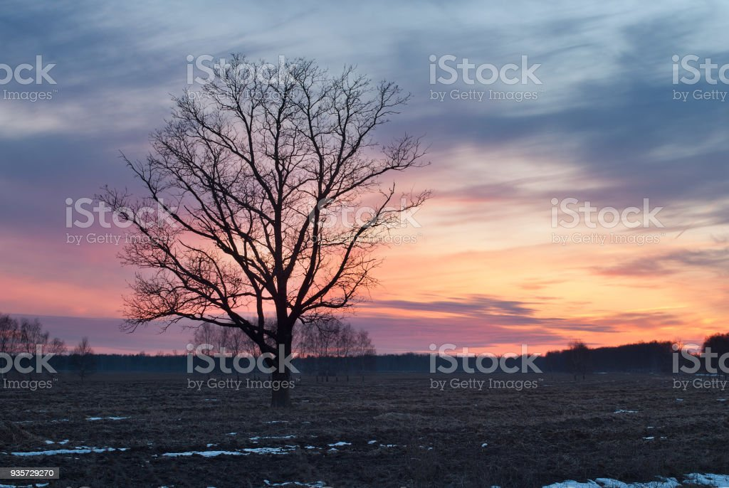 lonely tree in the field, silhouette at sunset, stock photo