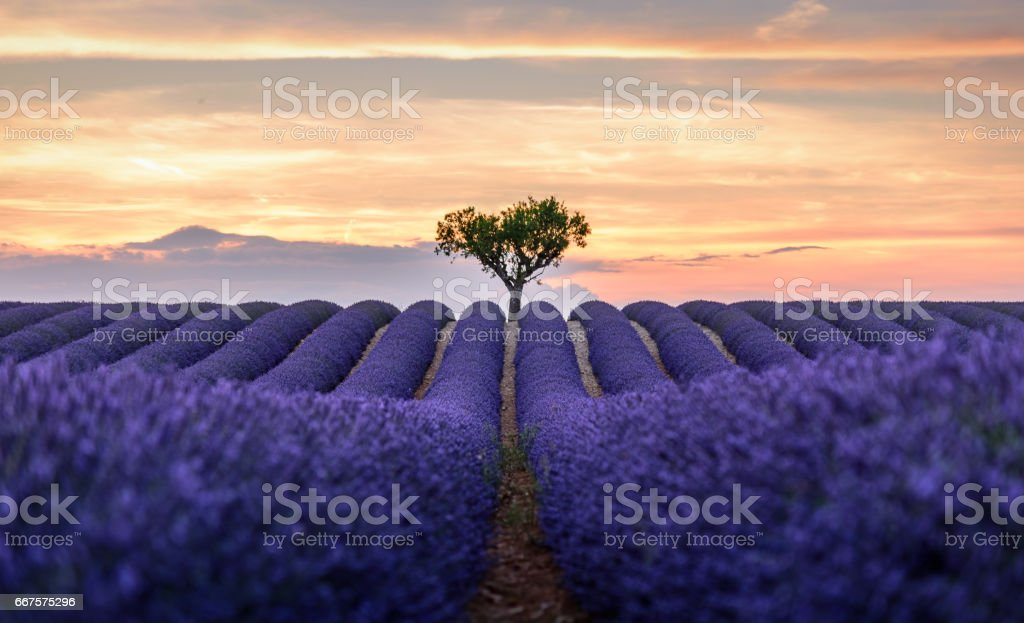 lonely tree in the lavender field stock photo