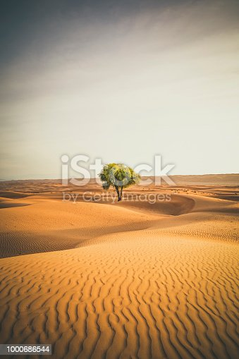 live of a lonely tree in the wahiba sands desert of the sultanate of oman.