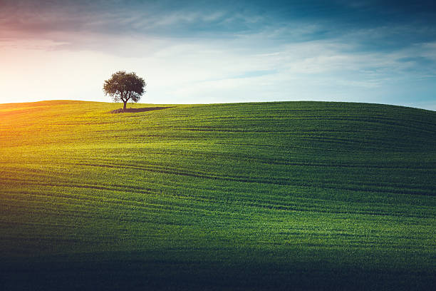Lonely Tree In Tuscany Lone tree in the middle of green field (Val D'orcia, Tuscany, Italy). cultivated land stock pictures, royalty-free photos & images