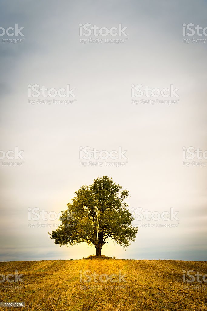 Lonely tree on a field stock photo