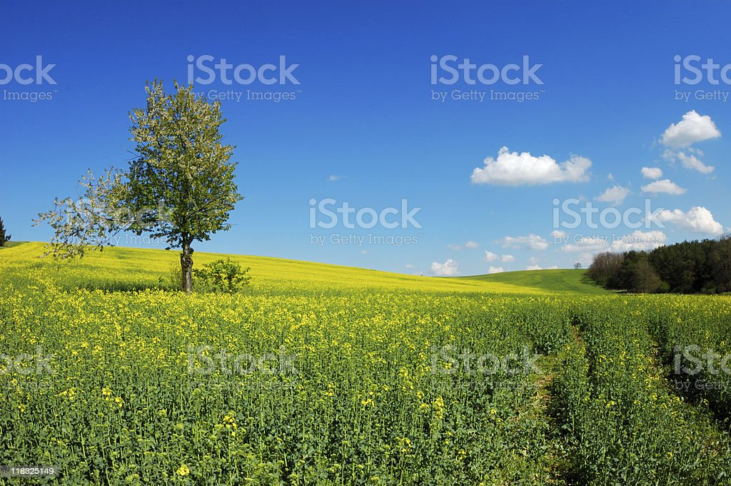 Lonely tree on a green field royalty-free stock photo