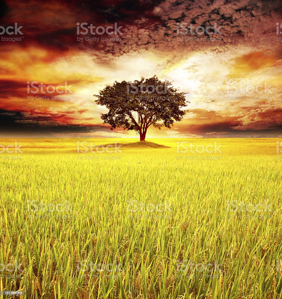 Lonely tree on golden paddy royalty-free stock photo