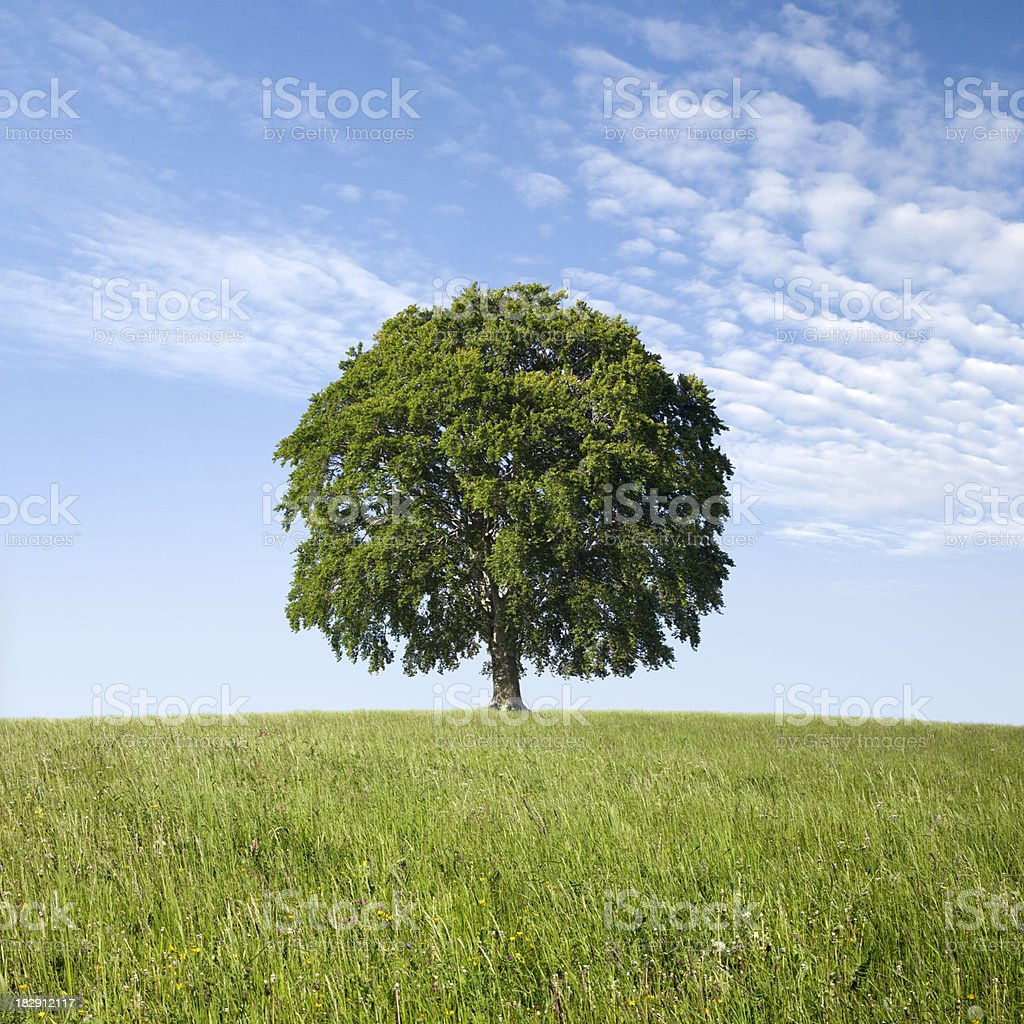 Lonely tree on green field. Beech. stock photo