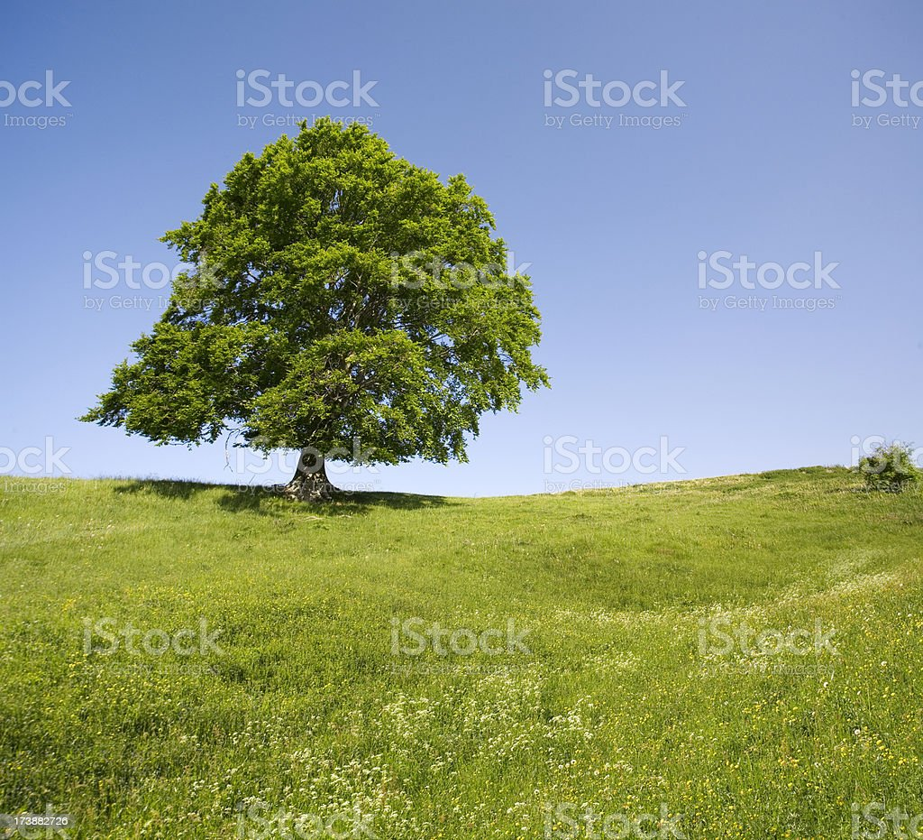 Lonely tree on green field. royalty-free stock photo