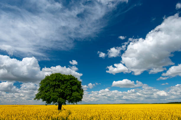 Lonely tree on the blooming colza field, blue cloudy sky stock photo