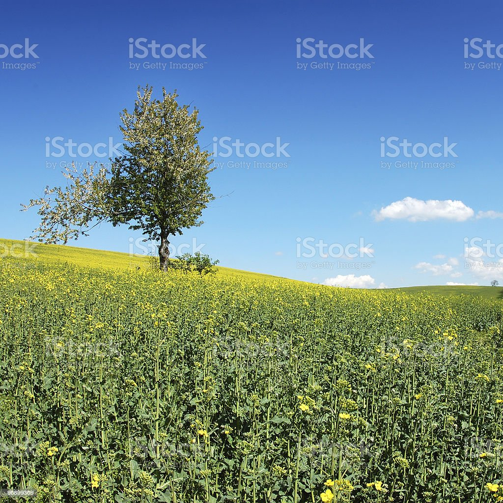 Lonely tree on the field royalty-free stock photo