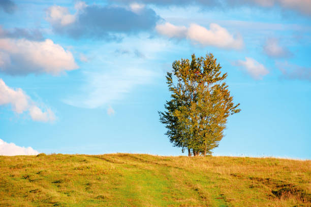 lonely tree on the hillside in warm evening light stock photo
