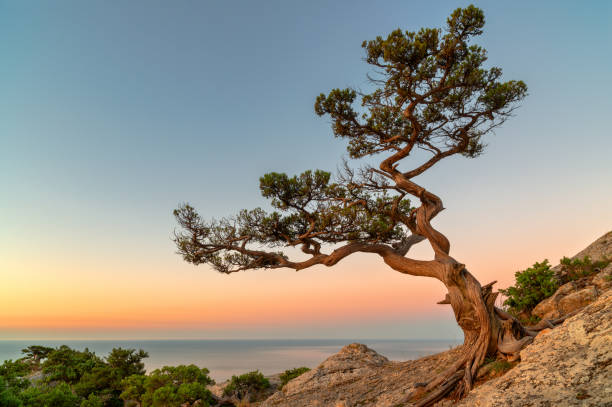Lonely tree on the rock above the sea stock photo