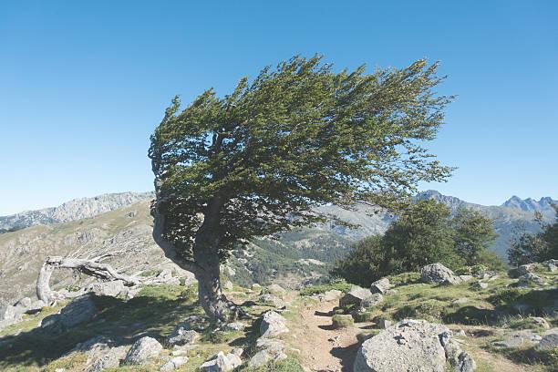 arbre solitaire  - randonnée corse photos et images de collection
