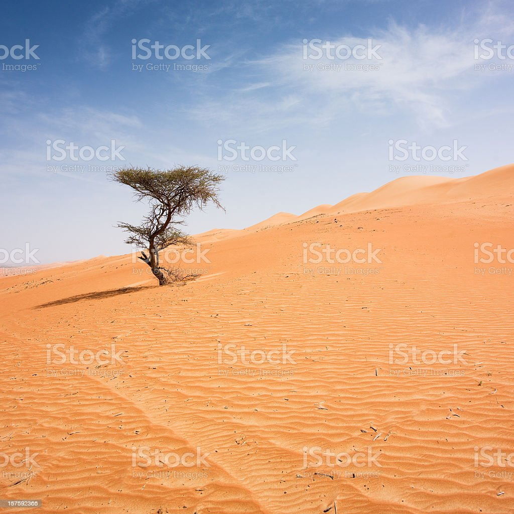 Lonely Tree Wahiba Sands Desert Sultanate of Oman stock photo
