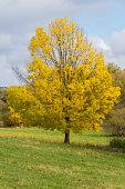 Yellow tree in Autumn season on pasture