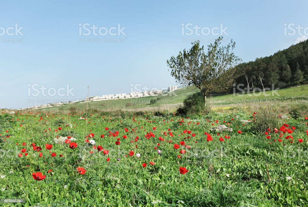 Lonely tree  with red anemones stock photo