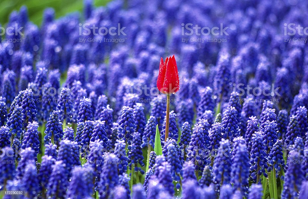 Lonely tulip stock photo