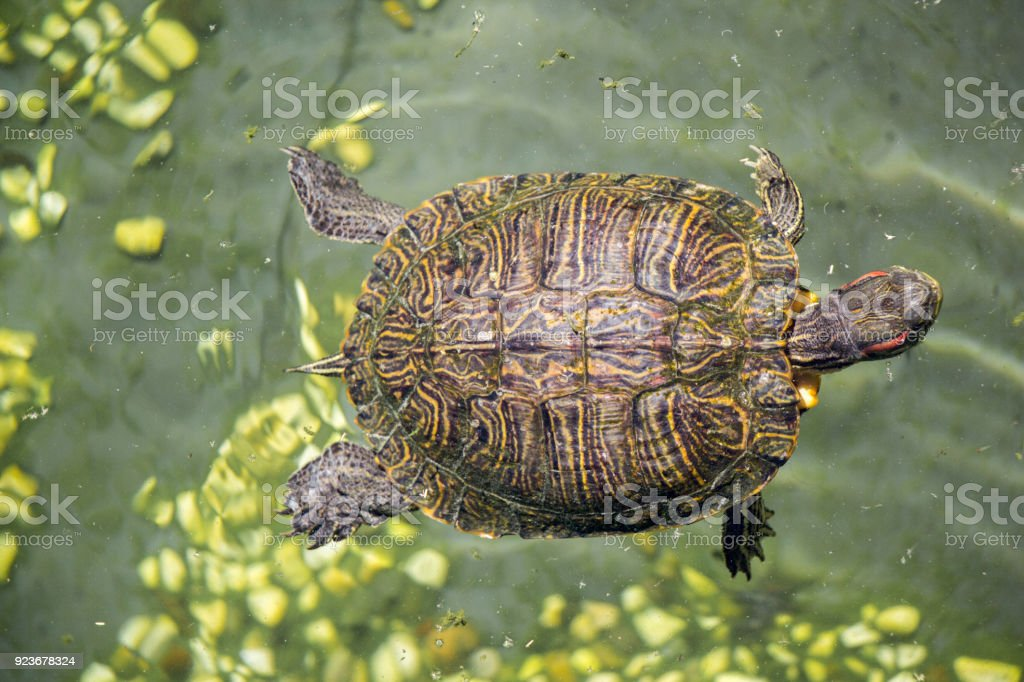 Lonely turtle found by a lake stock photo