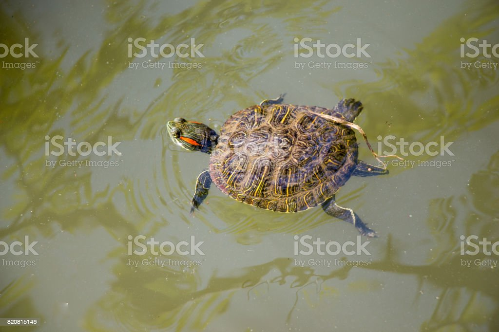 Lonely turtle swimming in a lake stock photo