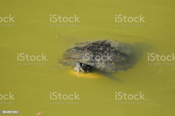 Lonely turtle swimming in the muddy water of a lake picture id904861552?b=1&k=6&m=904861552&s=612x612&h=aksdbvk4tbocn6x058h hfhic5loo 9ozbhrp5a0zi0=