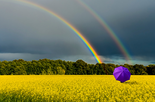 Lonely umbrella among the field with blossom rapeseed