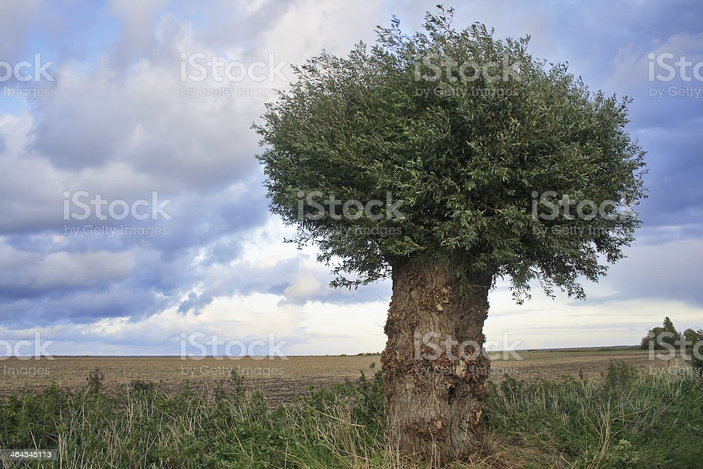Lonely Willow royalty-free stock photo