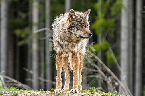 Lonely Wolf looks around attentively.
