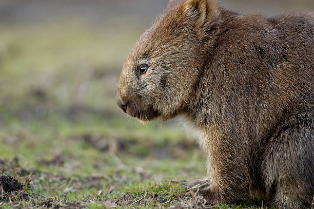 lonely wombat - wombat stock photos and pictures