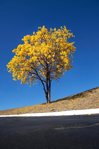 Lonely Amarelo, Amarelo do Ipê árvore do Cerrado - foto de acervo