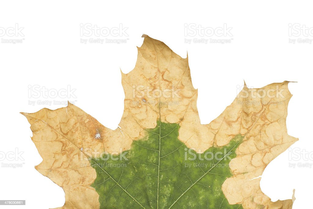 Lonely yellow leaf of a plane tree royalty-free stock photo