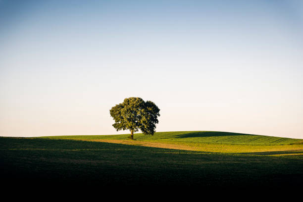 Lonesome Sycamore Tree Møn Denmark Majestic old sycamore tree highlighted by the last rays of the day, standing tall in a filed on the island of Møn in Denmark. Colour, horizontal with lots of copy space. sycamore tree stock pictures, royalty-free photos & images
