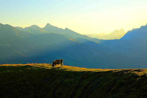 loney cow herd, wetterhorn above grindelwald: swiss alps sunrise - kanton schweiz stock-fotos und bilder