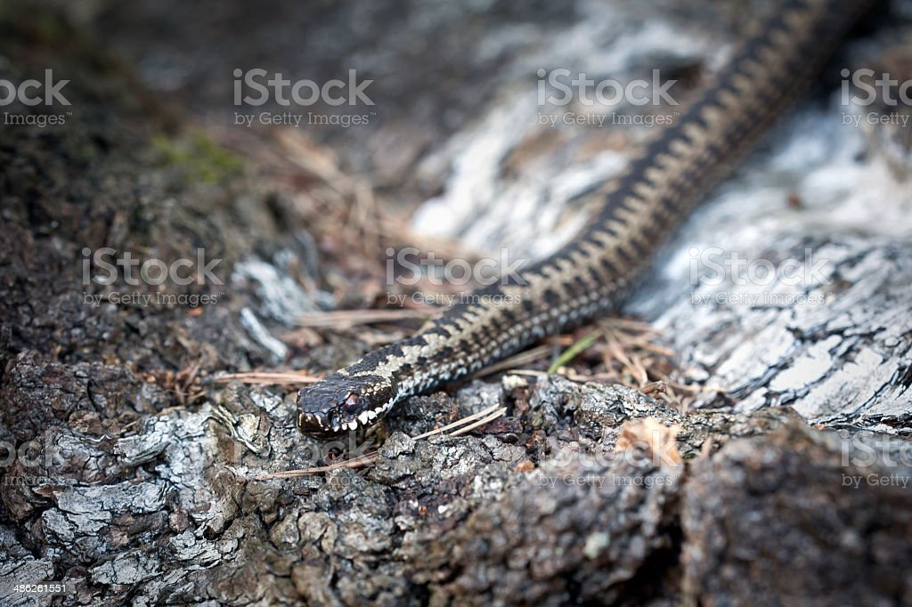 Long adder stock photo