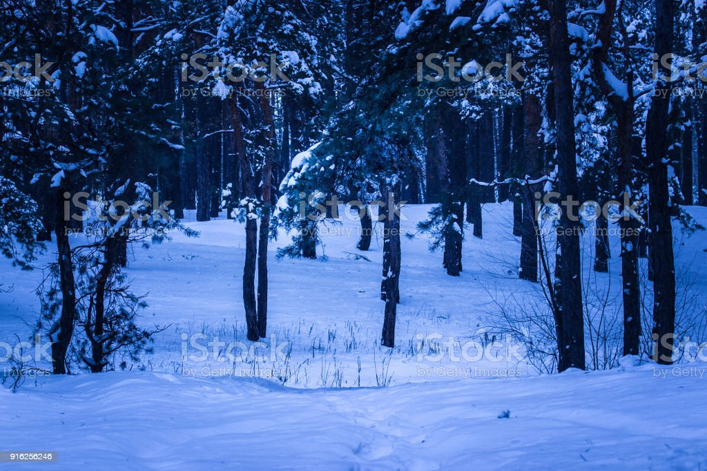 Long and thin pines whose branches covered the snow in the winter forest in the evening stock photo