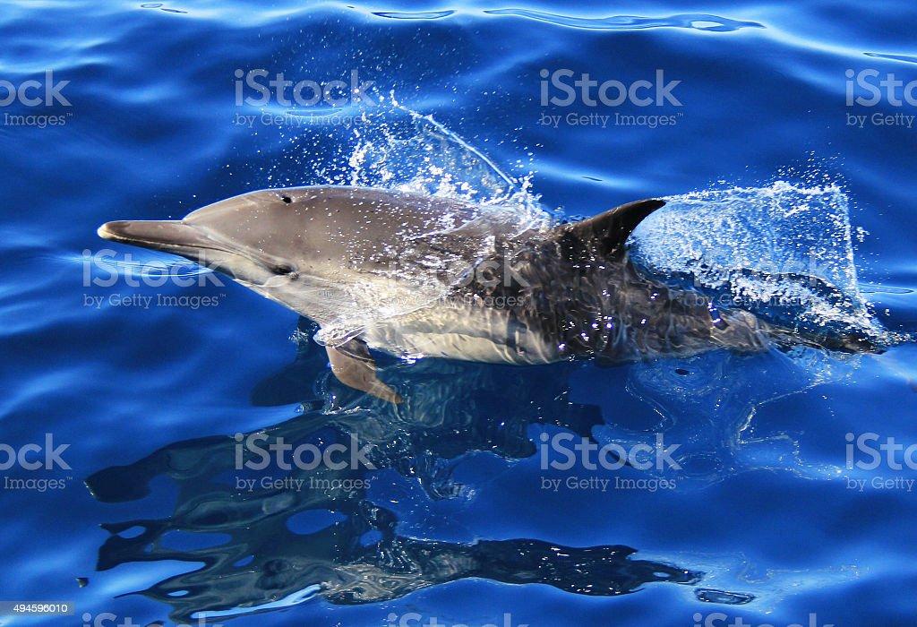 Long Beaked Common Dolphin stock photo