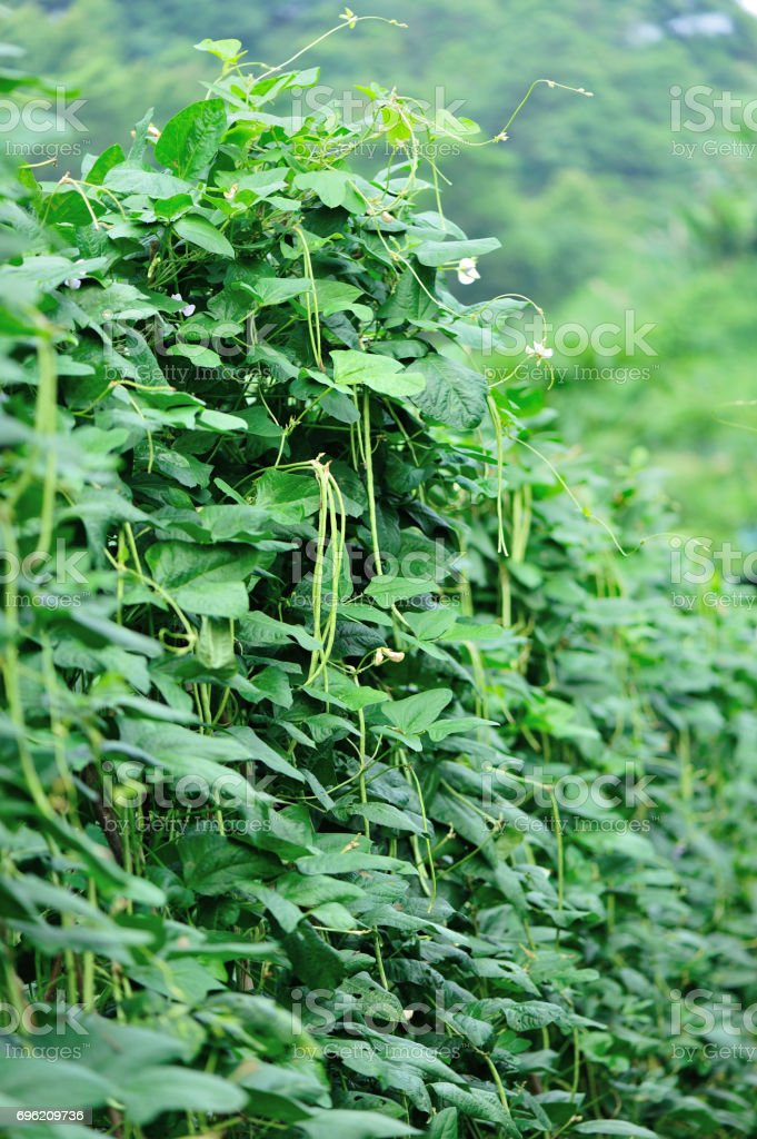 Long bean plants in growth at vegetable garden stock photo