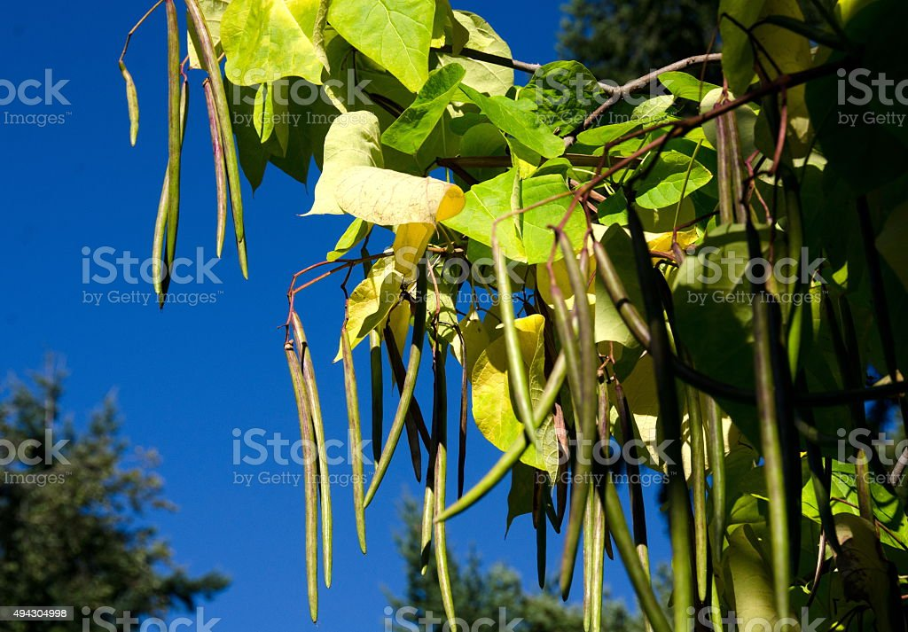 Long bean pods of Northern catalpa in university campus stock photo