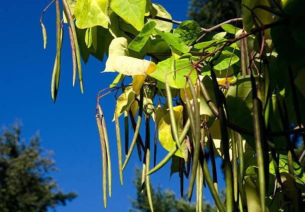 long bean pods des nördlichen catalpa in university campus - trompetenbaum stock-fotos und bilder