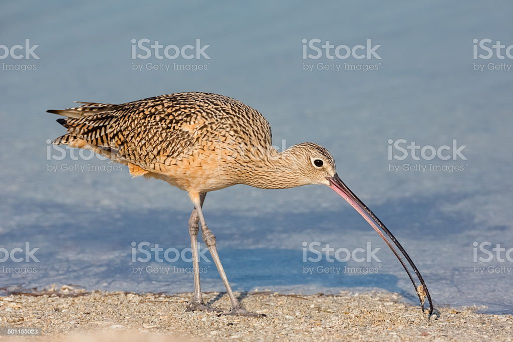 Long Billed Curlew Feeding on a Crab royalty-free stock photo