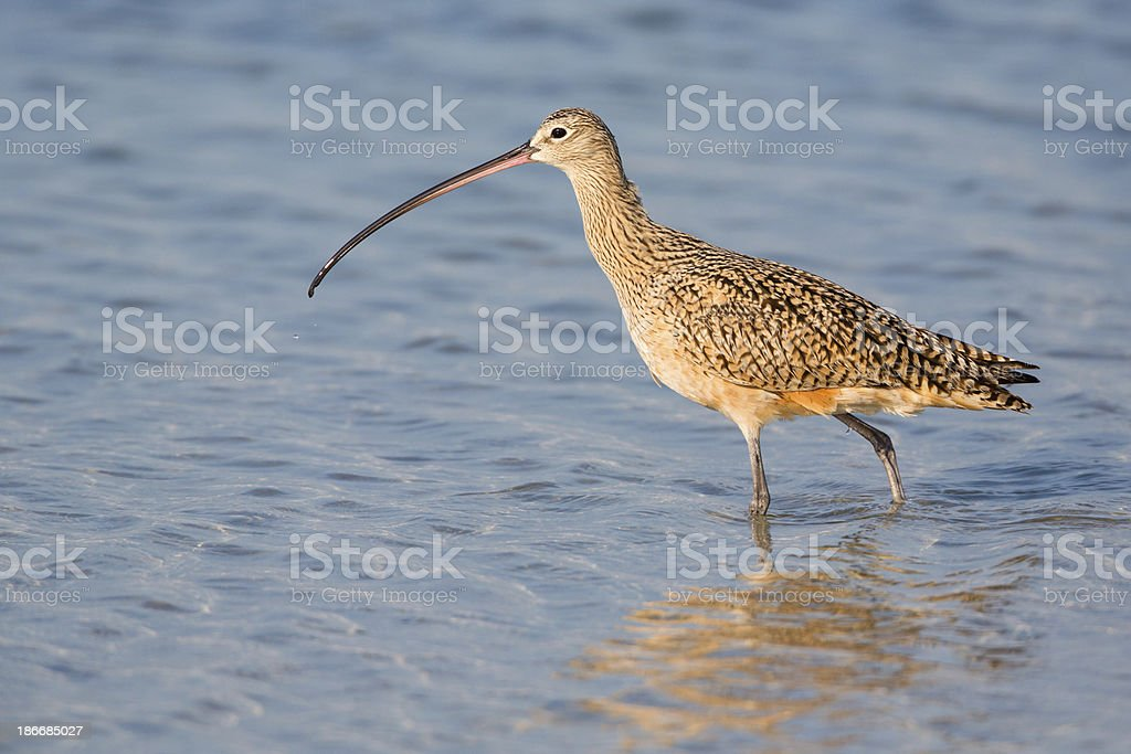 Long Billed Curlew royalty-free stock photo