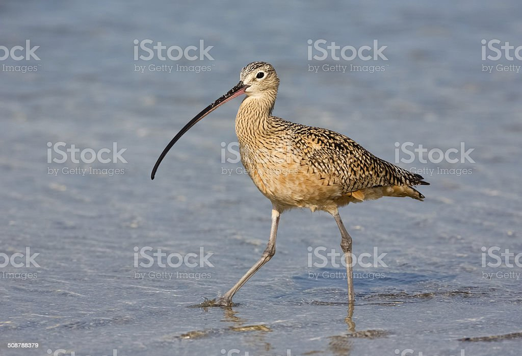 Long Billed Curlew stock photo