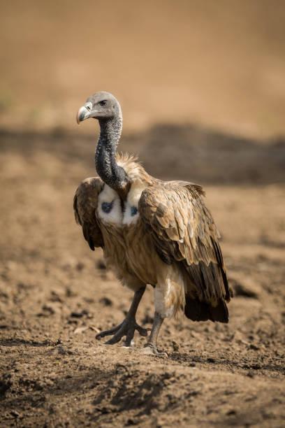 lang gefactureerde vulture gyps indicus, ranthambore tiger reserve nationaal park, rajasthan - aas eten stockfoto's en -beelden