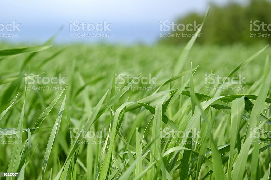Long blades of grass royalty-free stock photo